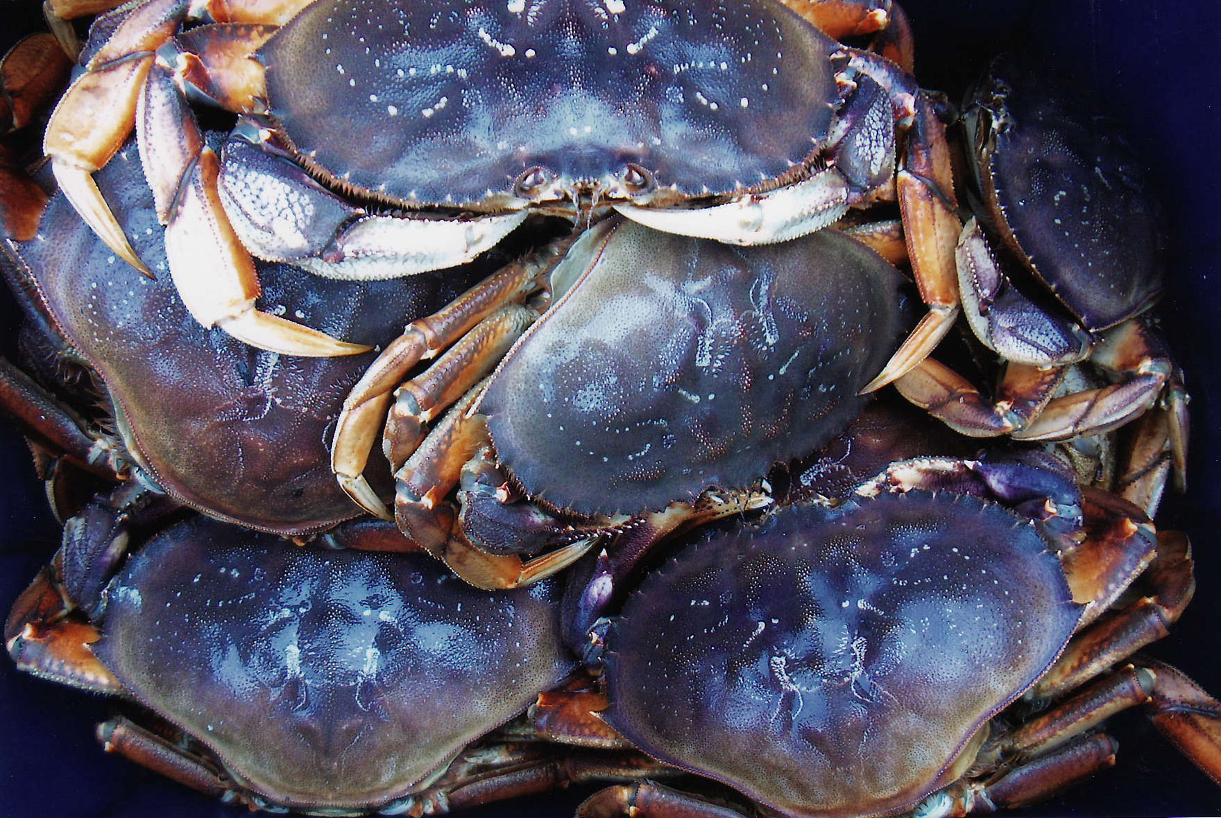 IMG_0005-crabs